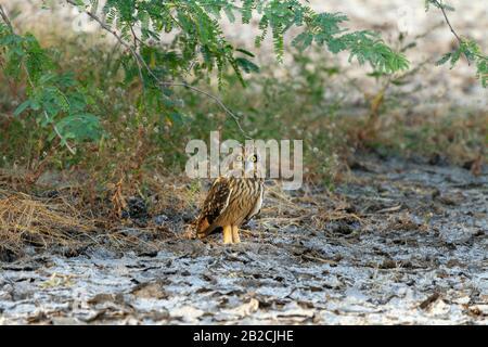 Kurzarmbatasche Eule oder Asio Flammeus in Little Rann of Kutch Gujarat Indien während der Winterwanderung - Stockfoto