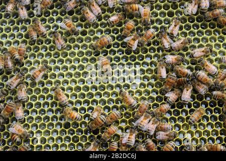 Arbeiterbienen auf einem ganzen Rahmen von Nektar