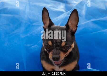 Langhaar Chihuahua Stockfotografie Alamy