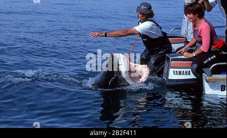 Haifütterung für Touristen, Weißer Hai (Carcharodon carcharias) am Boot reisst sein Maul auf, Gansbaai, Südafrika Shark Fütterung für Touristen, Prima - Stockfoto