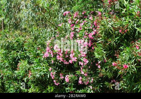 Pink blühende Neriumoleder im Garten an sonnigen Tagen. - Stockfoto