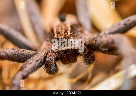 Lauffabelspinne (Thanatus formicinus), Vorderansicht, Deutschland - Stockfoto