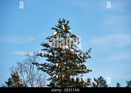 Abgebildet ist eine Winterszene mit Bäumen in Norwegen. - Stockfoto