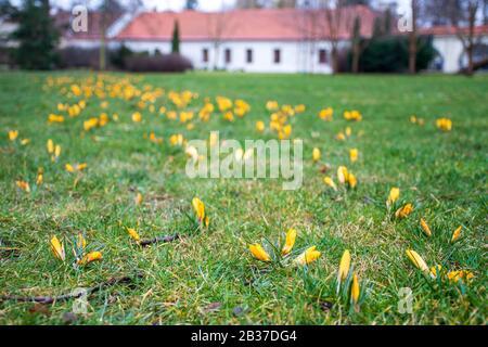 Erste Frühlingsblumen auf dem grünen Rasenfeld nach dem Regen. Blühende Krokusse. Gelbe orangefarbene Blume - Stockfoto