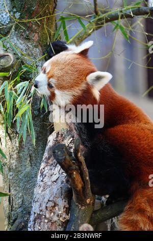 Der Rote Panda (Ailurus fulgens) in ein outdoor Park - Stockfoto