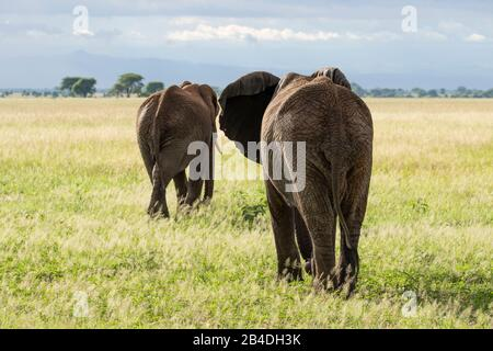 Tansania, Nordtansania, Serengeti-Nationalpark, Ngorongoro-Krater, Tarangire, Arusha und Lake Manyara, zwei afrikanische Elefanten in der Savanne, Loxodonta africana