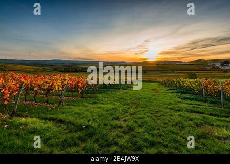 Herbst im Weinberg in einer sanft gewellten Landschaft in Rheinhessen, satte helle Farben im Oktober, Abendatmosphäre mit warmem Licht, goldener Oktober allenfalls mit Sonnenuntergang
