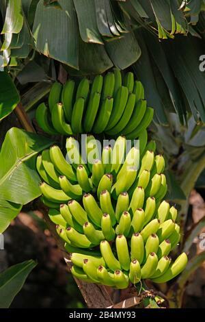 Obststand eines Bananenstaums, Bananenplantage, Jardim do Mar, Madeira Island, Portugal Stockfoto