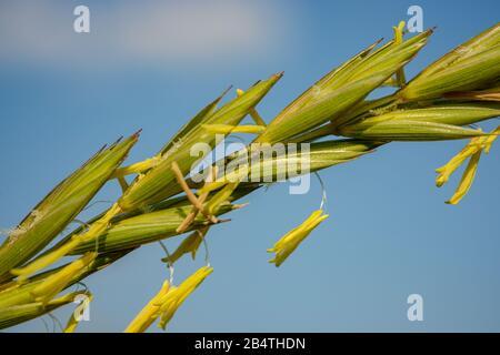 Sehr detaillierte Infloreszenz von Gras, Makro - Stockfoto