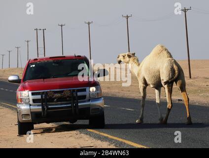 Kamele, die die Straße in der Wüste kreuzen, mit Verkehrs- und Telegrafenmasten auf der Seite - Stockfoto