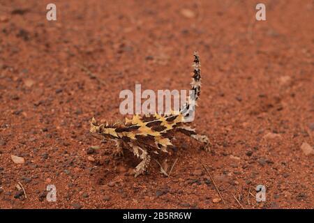 Eine kleine Dornige Teufelsidechse auf rotem Wüstensand in aridem Gestrüpp mit dornförmigen Stacheln und Rostrot aus Outback Central Australia, Schwanz in einer Höhe gehalten - Stockfoto