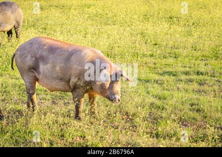 Iberisches Schwein auf dem Feld, Extremadura - Stockfoto
