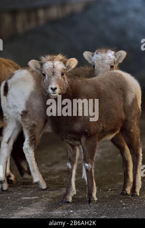 """Wilde Bighorn-Schafbabys """"Orvis canadensis"""", die zusammen unter einem Überpass im ländlichen Alberta Kanada stehen."""