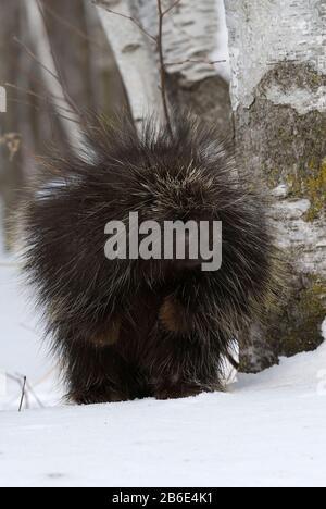 Nordamerika Porcupine (Erethizon dorsatum) Nordamerika, von Dominique Braud/Dembinsky Photo Assoc - Stockfoto
