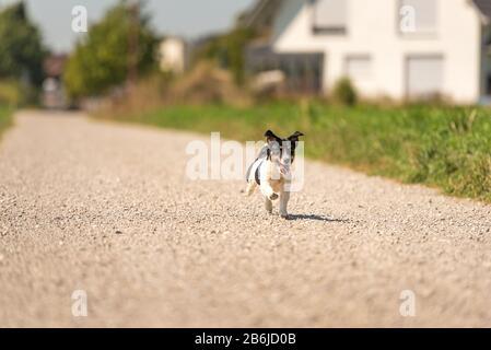 Jack Russell Terrier. Hund läuft allein auf einer Straße im Dorf - Stockfoto