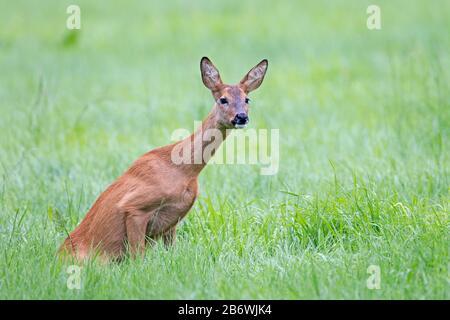 Western Roe Deer (Capreolus Capreolus). Plötzlich entdeckt mich der Roe Deer Doe und unter höchster Spannung nimmt sie diese Haltung ein. - Stockfoto