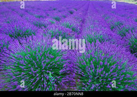 Lavendelfelder in Südfrankreich. - Stockfoto