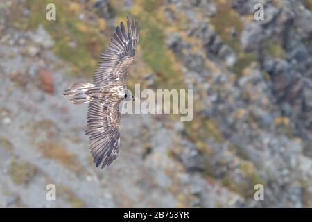 Bärtige Geier (Gypaetus barbatus), Jugendliche im Flug von oben gesehen, Trentino-Alto Adige, Italien - Stockfoto