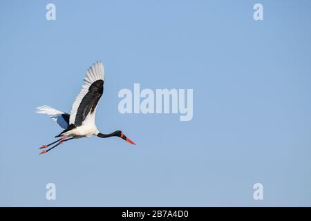 Saddle-billed Stork, Ephippiorhynchus senegalensis, in Flight, Bushman Plains, Okavanago Delta, Botswana - Stockfoto
