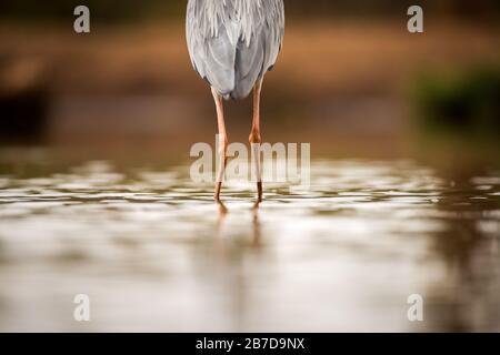 Eine abstrakte Nahaufnahme der Beine eines Grauen Herons, der von hinten in der Madikwe Game Reserve, Südafrika, im Wasser steht. - Stockfoto