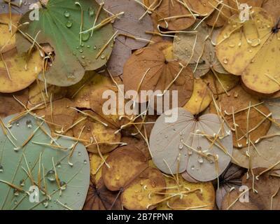 Bunte Blätter fallen im Herbst vom Schmetterlingsbaum - Stockfoto
