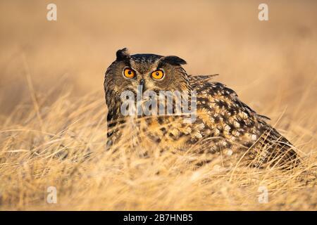 Erschrocken eurasische Adler-Eule, die sich im Herbst im Gras verstecken. - Stockfoto