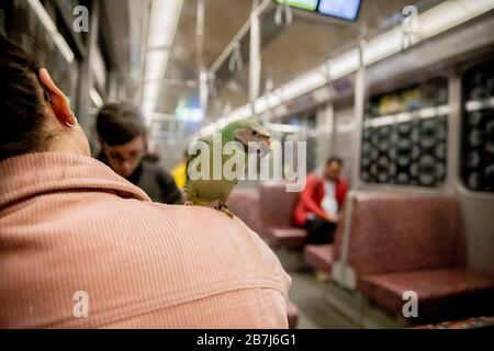 Berlin, Deutschland. März 2020. Ein Bearded Parkeet fährt mit der U-Bahn auf der Schulter des Eigentümers. Credit: Christoph Soeder / dpa / Alamy Live News - Stockfoto