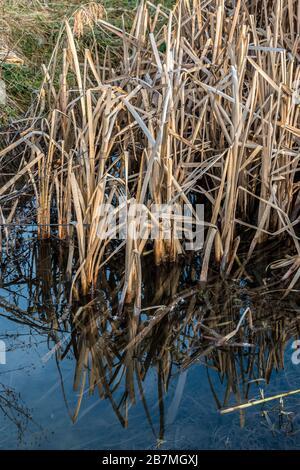 Marschland mit riechenden Brackwasser und viel Schilf - Stockfoto