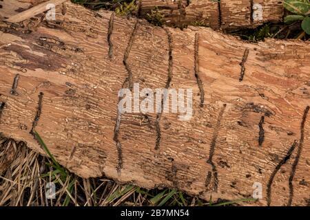 Viele Wurmrillen auf einem Holzstück Baumrinde - Stockfoto