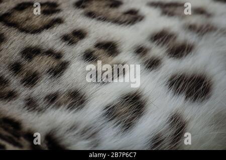 Detail der Haut, Haare und Flecken eines jungen asiatischen Leoparden - Stockfoto