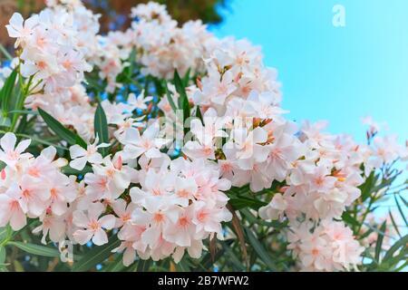 Nerium-Oleander in Blüte, weiße und rosafarbene Blumen und grüne Blätter - Stockfoto