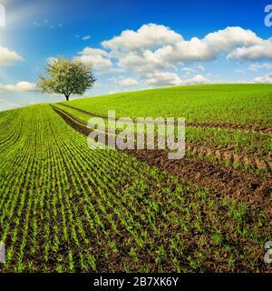Spuren auf einem Feld mit jungen Pflanzen, die zu einem einsamen Baum am Horizont führen. Querformat im quadratischen Format mit grünem Hügel und blauem Himmel - Stockfoto