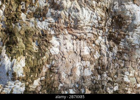 Nahaufnahme einer gealterten Plane Tree Barke. Natürlicher abstrakter Hintergrund. Bild - Stockfoto