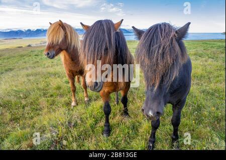 Lustige island Ponys mit einem stylischen Haarschnitt, der auf einer Weide in Nordisland weidet