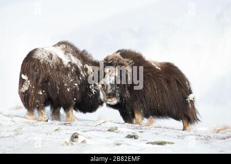 Nahaufnahme von zwei großen, kräftigen Musken-Oxen, die im Winter kämpfen, Norwegen. - Stockfoto