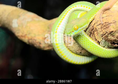 Großäugige Pit Viper diese Viper ist eine der schönsten Schlangen, die man in freier Wildbahn findet; sie ist in jungen Jahren weniger aggressiv und hat Porträts - Stockfoto