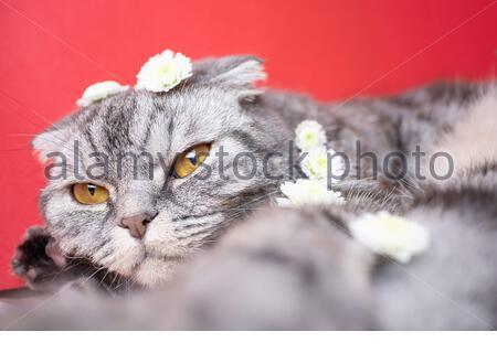 Lustige graue schottische Faltkatze mit gelben Augen auf rotem Hintergrund. Auf der Katze sind kleine weiße Blumen. Das Konzept des Frühlings, des Urlaubs und des Popu - Stockfoto