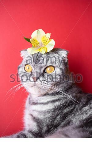 Lustige graue schottische Faltkatze mit gelben Augen auf rotem Hintergrund. Auf dem Kopf der Katze befindet sich eine gelbe kleine Blume. Das Konzept des Frühlings, Feiertags, AS - Stockfoto