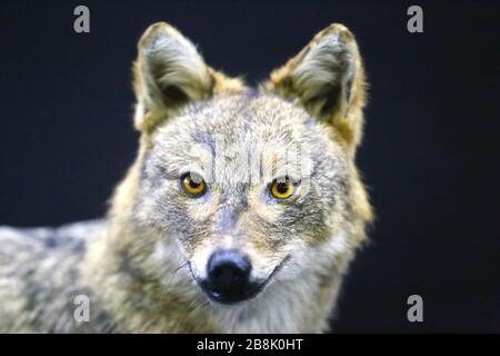 Kopf von goldenem Schakal Wildhund Canis aureus, auf schwarzem Hintergrund - Stockfoto