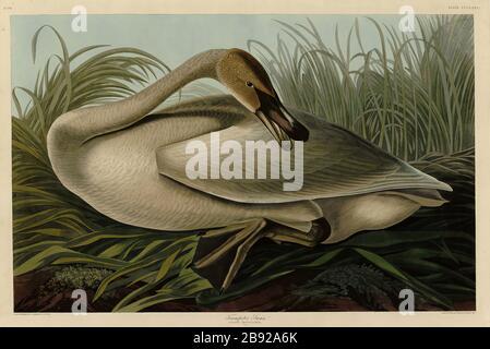 Platte 376 Trompeter Swan, von The Birds of America Folio (187-184) von John James Audubon - sehr hohe Auflösung und Qualität bearbeitete Bilder - Stockfoto