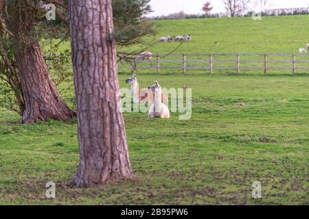 Die schönen Alpacas durchstreifen das Feld. - Stockfoto