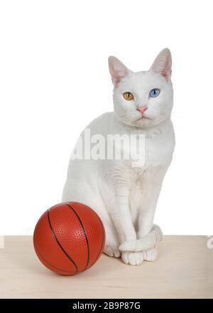 Weiße Katze mit Heterochromie, die auf einem hellen Holzboden mit einem Miniaturbasketball sitzt und auf den Betrachter blickt, isoliert. Vertikales Format. - Stockfoto