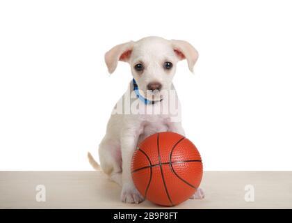 Wunderbares, weißes und cremefarbenes kleines Labrador Aussehen vermischen Welpen auf einem hellen Holzboden mit kleinem Basketball, der direkt auf den Betrachter blickt. Ist - Stockfoto