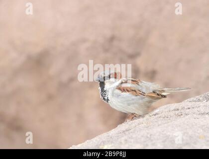 Der in den meisten Teilen der Welt gefundene männliche Hausspfeil, ein Vogel der Sparrenfamilie Passeridias, thront auf Felsen in der Wüste von Arizona.