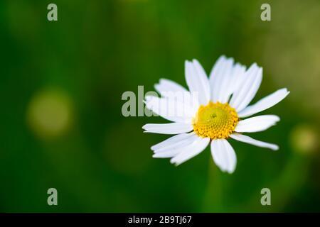 Weiße einzelne Kamillenblume auf grüner Wiese - geringe Feldtiefe - Stockfoto