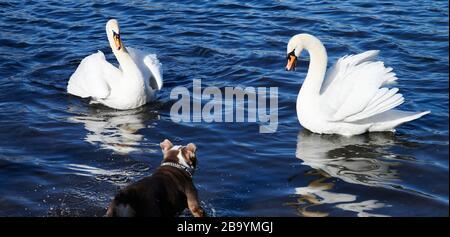 Berlin, Deutschland. März 2020. Ein Hund trifft in Weißensee auf zwei Schwäne. Credit: Annette Riedl / dpa / Alamy Live News - Stockfoto