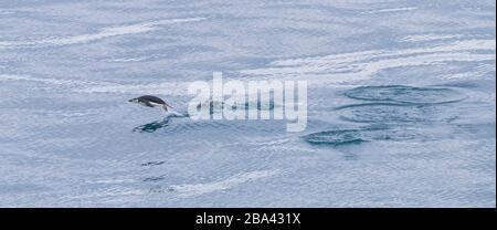 Ein Chin-Stripped-Pinguin ' Pygoscelis antarcticus ' porposiert zu den Futterplätzen. - Stockfoto