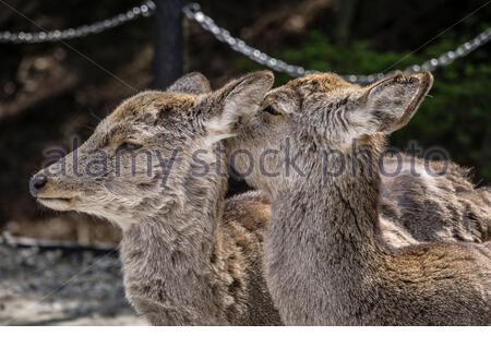 Zwei japanische Sika-Hirsche (Cervus nippon) im Nara Park, Nara, Japan. Die Hirsche mausieren ihren Wintermantel, da es Frühling ist. - Stockfoto