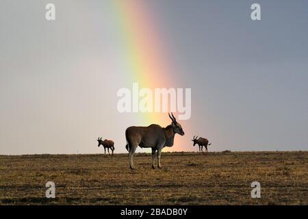 Das Bild des reifen männlichen gemeinen Elands (Taurotragus oryx) und des Regenbogens in Masai Mara National Reserve, Kenia, Afrika - Stockfoto