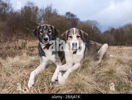 Griechische Berghundkreuze (Schwestern), im Winter in Großbritannien erschossen. Es fängt gerade an zu schneien in diesem Bild. - Stockfoto